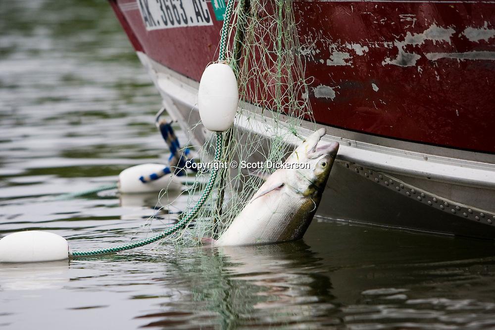 A Bristol Bay sockeye salmon caught in a subsistence gillnet on Newhalen River over 100 miles from Bristol Bay, Alaska.