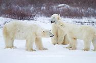 01874-12601 Three Polar bears (Ursus maritimus) sparring in winter, Churchill Wildlife Management Area, Churchill, MB Canada
