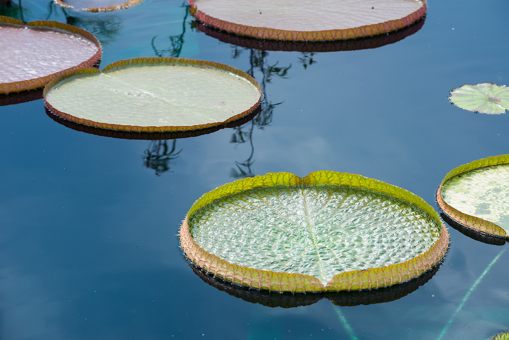 A beautiful picture of a lily pad floating on the pond.<br />