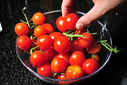 Cocktail tomatoes cultivated for their size, colour and durability hand selecting one