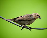 Female Brown Headed Cowbird. Image taken with a Nikon D850 camera and 600 mm f/4 VR lens