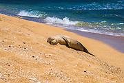 Endangered Hawaiian monk seal (Monachus schauinslandi) on Miloli'i Beach, Na Pali Coast, Island of Kauai, Hawaii USA