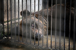 ROMANIA ONESTI 28OCT12 - A Eurasian brown bear lies motionless next to the rusty bars of its cage at the Onesti zoo.....The zoo has been shut down due to non-adherence with EU regulations on the welfare of animals...The bear was rescued from the decrepit Onesti Zoo where it lived for 8 years in degrading conditions.......jre/Photo by Jiri Rezac / WSPA......© Jiri Rezac 2012