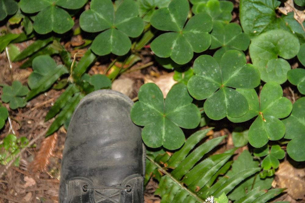 Giant clover in the Redwoods