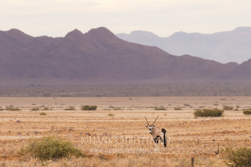 A gemsbok oryx stands in the dry desert savanna of western Namibia.
