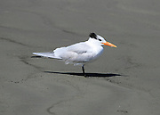 A Tufted Tern looking disgusted at being photographed on a Jekyll Island Beach.