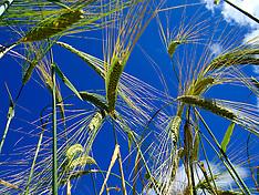 GB Barley