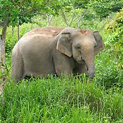 Wild female asian elephant, Elephas maximus, at Kui Buri National Park, Thailand.
