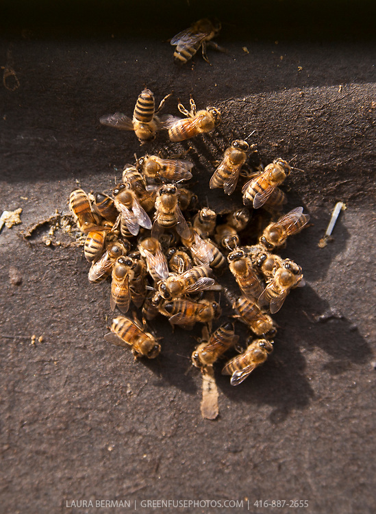 Honey bees, clustered around the opening of their hive box on an early spring day. The hive box is wrapped with black paper to insulate it from cold temperatures during the winter. (Apis mellifera).