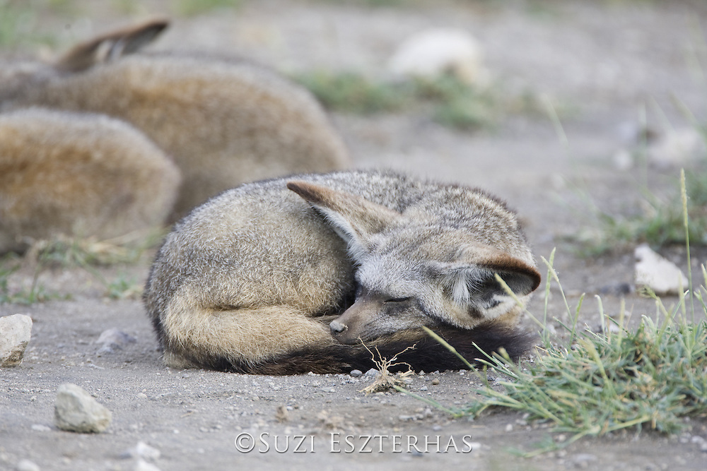Bat-eared fox<br /> Otocyon megalotis<br /> Ngorongoro Conservation Area, Tanzania