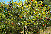 Red blossoms of a pomegranate tree