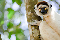 Verreaux's sifaka in a tree, Nahampoana Reserve, Fort Dauphin, Madagascar.