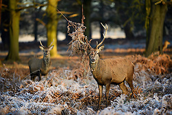 © Licensed to London News Pictures. 05/01/2017. London, UK. A deer stag seen standing with ferns in it's antlers after rutting on a frozen landscape in Richmond Park, London as cold weather continues across the UK. Photo credit: Ben Cawthra/LNP