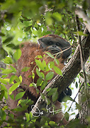 An adult male orangutan looks down from the rainforest canopy.