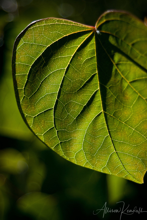 Morning sunlight filters through the veins and cells of heart-shaped redbud leaves