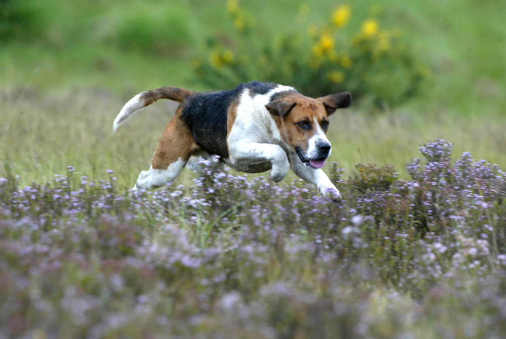 A hunting hound bounds over wild thyme at the Central Otago Hunt Club's annual hunt fixture, Roxburgh, New Zealand, May 29, 2006. Credit:SNPA / Rob Tucker