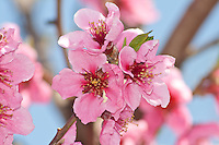 peach flowers on tree close-up on light blue background