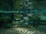 Underwater sences in Bonito, Mato Grosso do Sul, Brazil