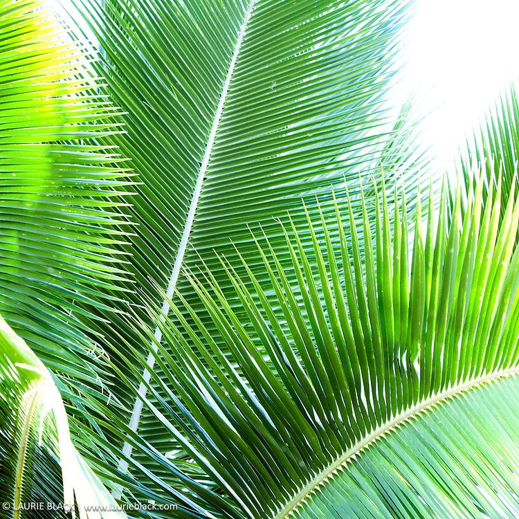 Palm foliage botanical photo
