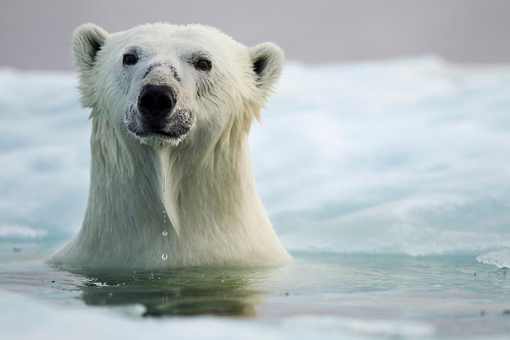 Canada, Manitoba, Churchill, Polar Bear (Ursus maritimus) pokes head up through hole in melting sea ice in Hudson Bay on summer evening