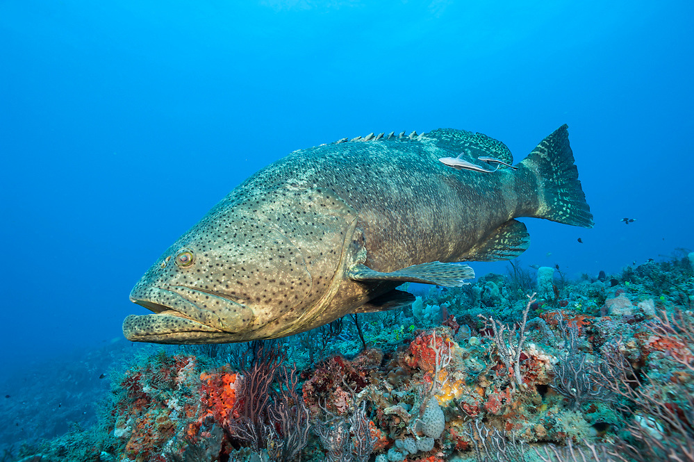 An endangered Goliath grouper, Epinephelus itajara, swims on a coral reef in Palm Beach County, Florida, United States Image available as a premium quality aluminum print ready to hang.
