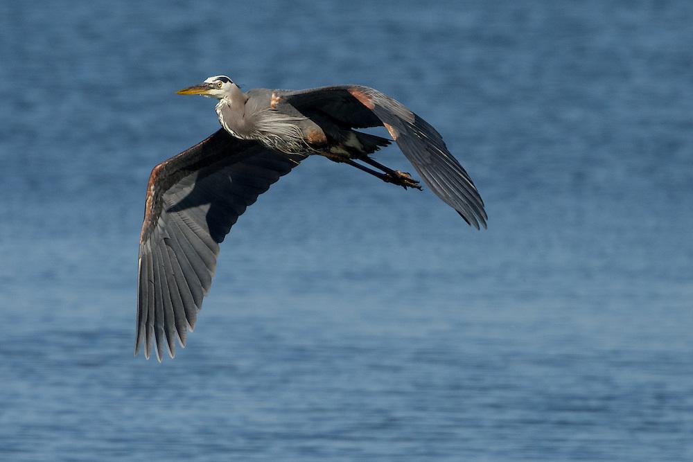 Great Blue Heron  (ardea herodias) in flight near Anacortes, Washington