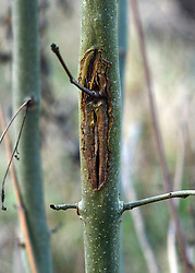 © Licensed to London News Pictures. 07/11/2012. LAWSHALL, UK.Infected trees at an infected site in East Anglia today, 7th November 2012. UK ash trees are threatened by the spread of Chalara disease, more commonly known as Ash Dieback. The Green Light Trust, an environmental charity near Bury St Edmunds has found its stock of Ash trees decimated with the disease. The community managed woodland has set up an appeal to help find a long term solution to the disease.  Photo credit : Stephen Simpson/LNP