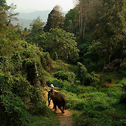 CHIANG MAI - FEB 28 2006: An elephant and its mahout make their way down a trail in the backwoods of northern Thailand. With their numbers dropping at such an amazing rate, many experts fear the next few years may prove to be the breaking point for these revered animals. Asian elephants - strong, social, and intelligent - have been trained for thousands of years for use in transportation, labor, and ritual. In Thailand, Elephants are of immense cultural importance, but their numbers are shockingly plummeting. In 1905, there were over 100,000 elephants in this land - now they are estimated at less than 5,000, of which barely half are in the wild. (Photo by Logan Mock-Bunting)