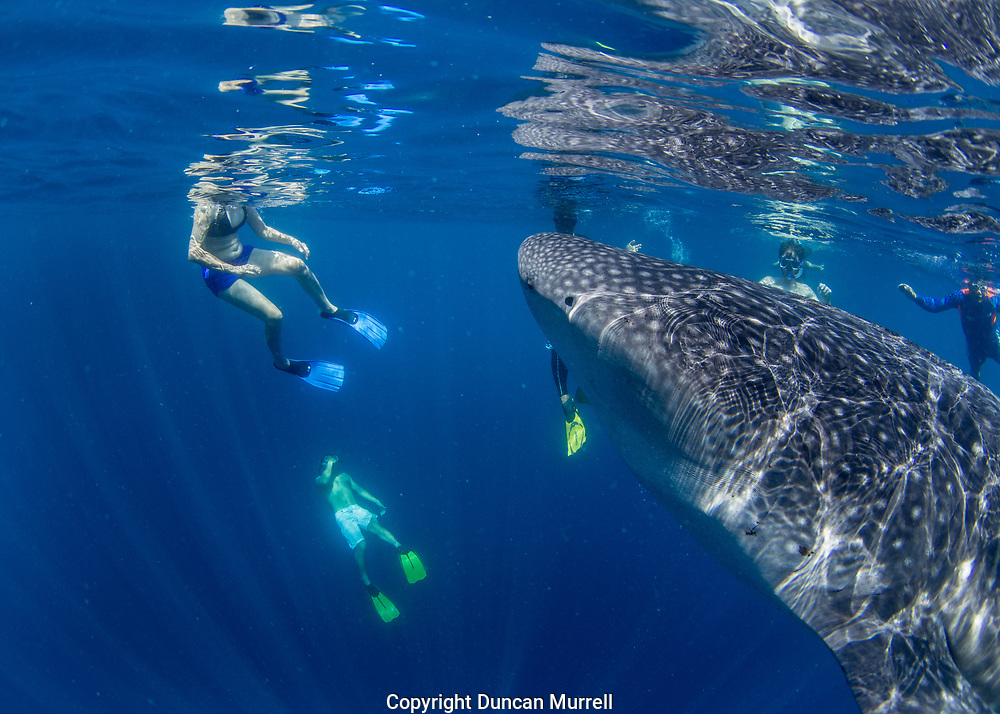 Tourists snorkelling with whale shark (Rhincodon typus), Honda Bay, Palawan, the Philppines.
