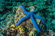Blue Sea Star (Linckia laevigata)<br /> Cenderawasih Bay<br /> West Papua<br /> Indonesia