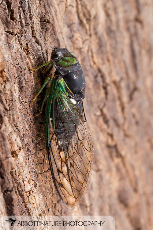 Swamp Cicada (Neotibicen tibicen tibicen)<br /> United States: Alabama: Tuscaloosa Co.<br /> Tulip Tree Springs off Echola Rd.; Elrod<br /> 16-Jul-2016<br /> J.C. Abbott #2846