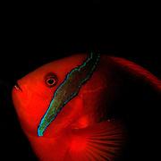 Tomato Anemonefish Amphiprion frenatus at Lembeh Straits, Indonesia.