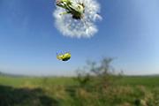 Kürbisspinne (Araniella cucurbitina) ist eine kleinere Radnetzspinne (Männchen ca. 5 mm, Weibchen ca. 8 mm Körperlänge) | Cucumber green spider (Araniella cucurbitina)