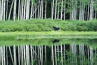 A one-antlered moose in Utah's Big Cottonwood Canyon stops for a lookout in front of the reflected aspen trees in a high elevation lake.