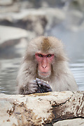 Snow monkey in onsen