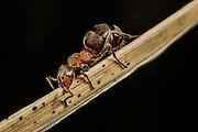 Macropicture of an ant on a straw | Makrobilde av en maur på et strå