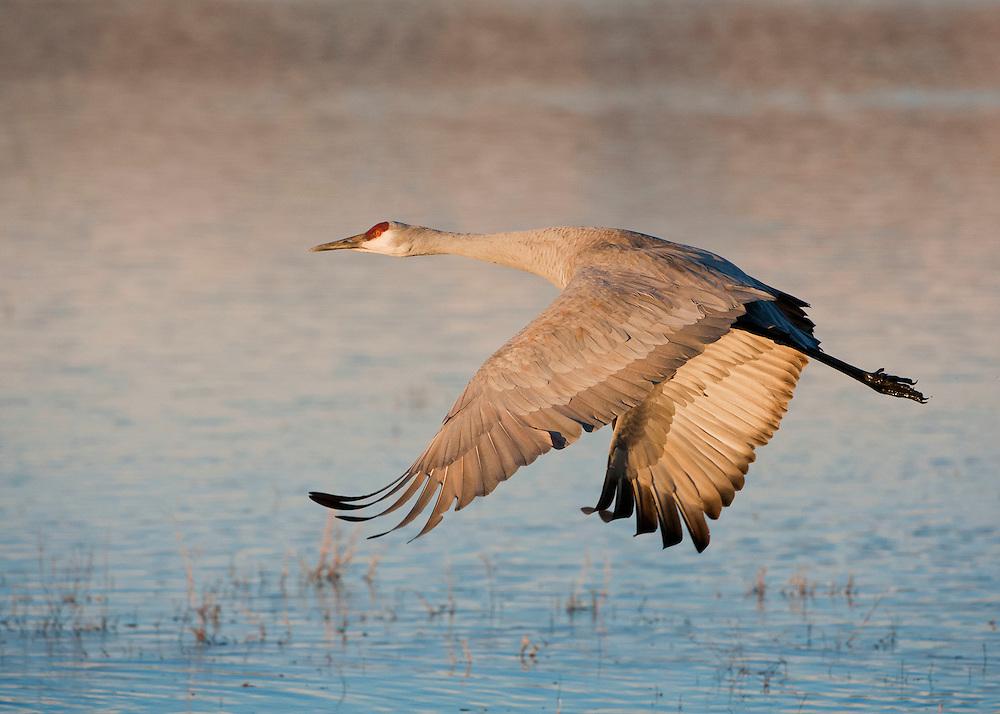 Sandhill Crane in flight at Bosque del Apache National Wildlife Refuge, New Mexico