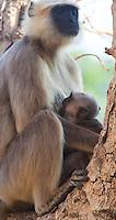 Mother suckling infant Nepal Gray Langur, Semnopithecus schistaceus, Bardiya National Park, Nepal