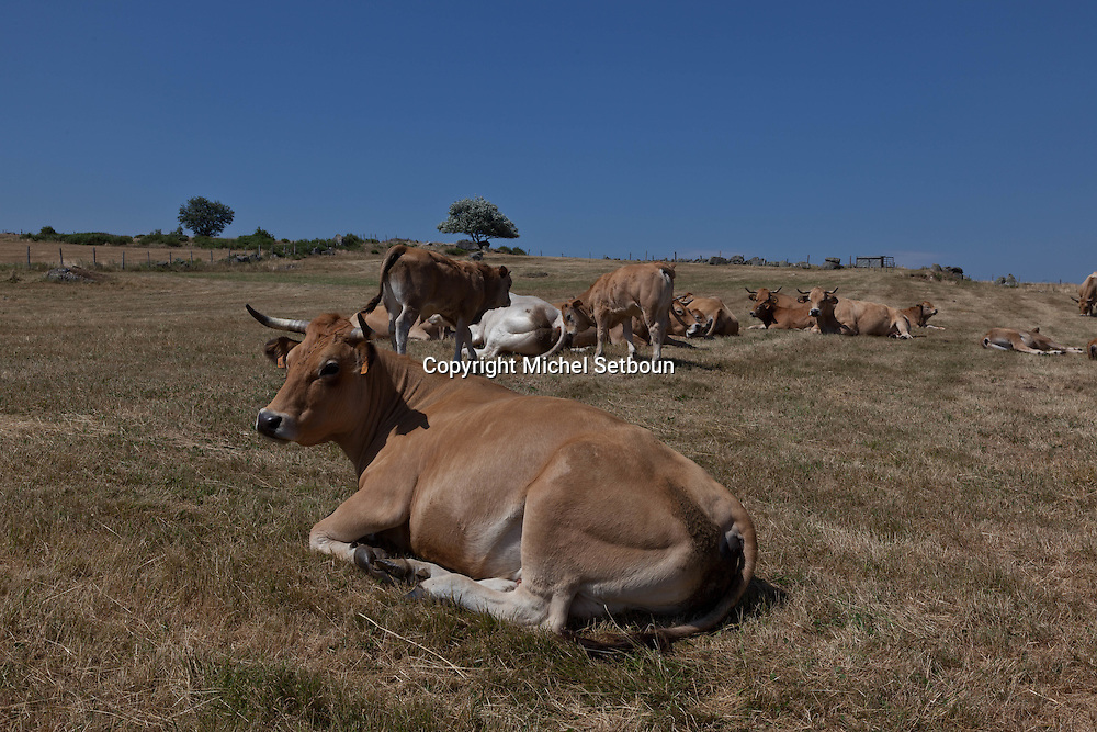 cows and landscape of aubrac, france  /  troupeau de vaches dans l aubrac, France