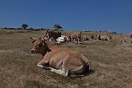 cows and landscape of aubrac, france  /  troupeau de vaches dans l aubrac, France