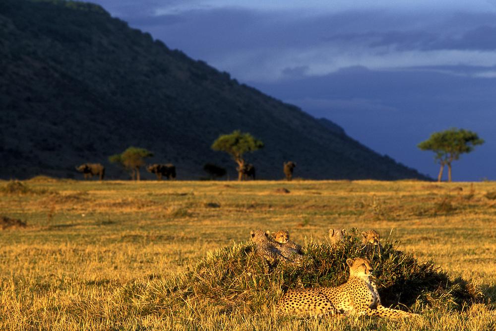 Africa, Kenya, Masai Mara Game Reserve, Adult Female Cheetah (Acinonyx jubatas) with four young cubs lies in grass at sunset