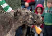 18/03/2013 Irish Wolf Hounds participating  in the Gort  St Patrick's Day Parade in County Galway. Picture:Andrew Downes.