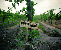 Pinot Noir grape vines at Finca La Heredad in the Luján de Cuyo area of Mendoza, Argentina. The  farm's vines surround the boutique hotel Club Tapiz.
