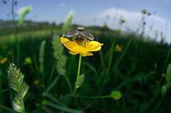 Bei dieser Fliege auf einer Hahnenfußblüte haben sich alle Wissenschaftler mit der Artbestimmung schwer getan, aber es ist eine Fliege. | Fly on a buttercup flower