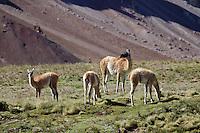 GUANACOS (Lama guanicoe), ADULTO Y CHULENGOS, RESERVA NATURAL LAGUNA DEL DIAMANTE, PROVINCIA DE MENDOZA, ARGENTINA