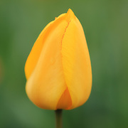 """""""Lemon Drop Tulip""""<br /> <br /> A lovely and elegant yellow tulip with a beautiful green background!!<br /> <br /> Flowers by Rachel Cohen"""
