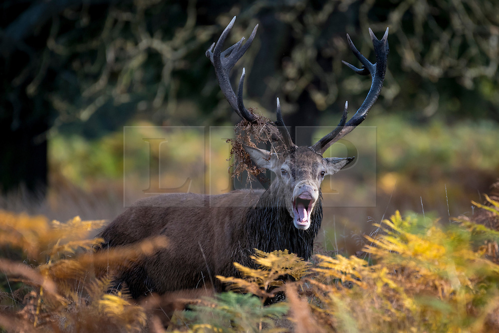 © Licensed to London News Pictures. 28/10/2016. London, UK. The annual deer rut takes place in Richmond Park on a fine autumnal day. Photo credit : Stephen Chung/LNP