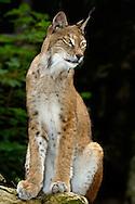 Deu, Deutschland: Luchs (Lynx lynx), sitzt, Lebensraum: Alpen, Steinwasen-Park Oberried, Baden-Württemberg | DEU, Germany: Eurasian lynx (Lynx lynx), sitting, habitat: European Alps, Steinwasen-Park, Oberried, Baden-Wuerttemberg |