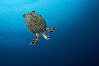 A Hawksbill Turtle, just after taking a breath at the surface, dives back to the reef to feed<br /> <br /> Shot in Indonesia