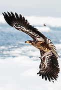 JAPAN, Eastern Hokkaido.Juvenile white-tailed sea eagle (Haliaeetus albicilla) with fish in flight